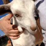 Boulder Jewish Goat Milking Co-op Seeking New Members