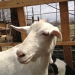 New Shifts Available in Jewish Goat Co-op