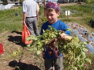 Picking beets at Ekar Farm.