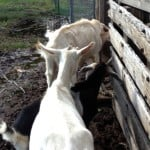 Goats Need Your Help Post-Noah
