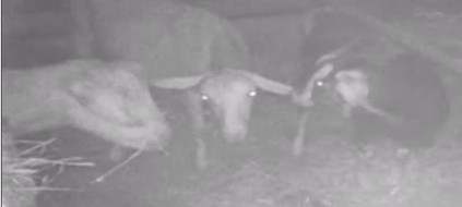 Infrared captures  goats conspiring!