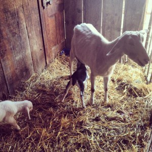 Sheleg and Schwartzy, Alfalfa's babies born before Purim, nursing from their mom
