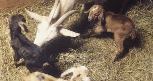 Baby Goats Celebrate Ancient and New